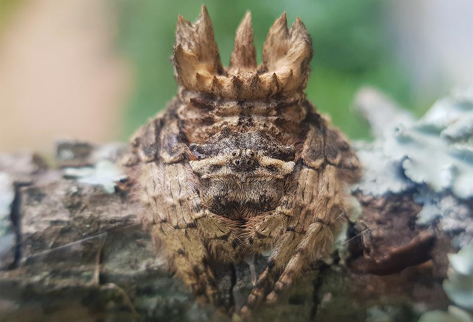 Spider of the month April 2021 Caerostris sexcuspidata