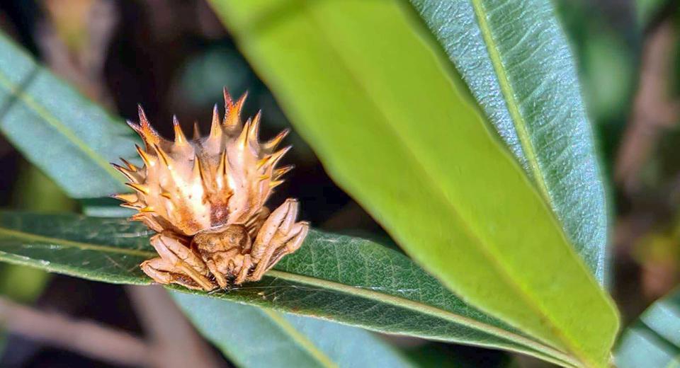 SOTM February 2021 hedgehog spider Pycnacantha sp.