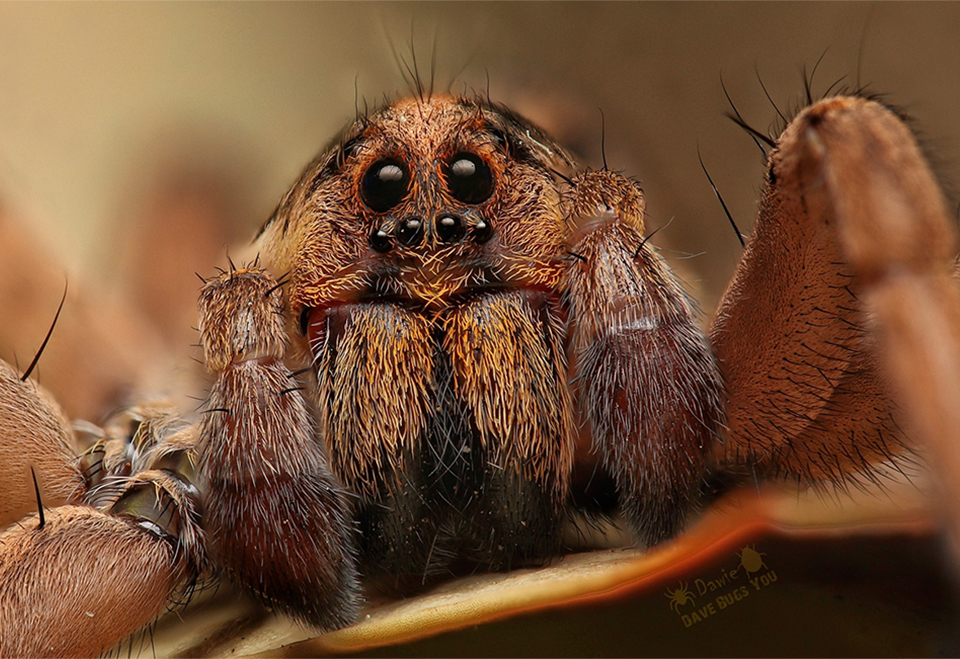 Spider of the month Hogna sp. Lycosidae